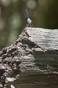Blue Fronted Dancer (Argia apicalis)