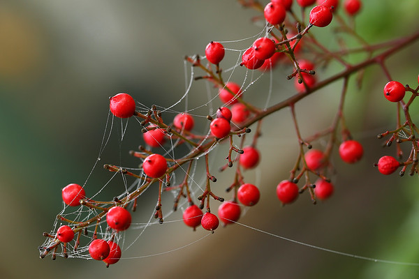 Dewy Webs on the Red Berries