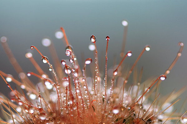 Water Drops on a Cactus Plant