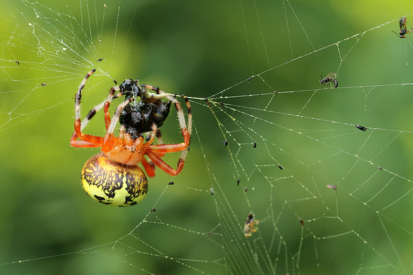 Marbled Orb Weaver Spider with Gross Snack