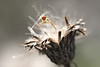 Crab Spider on Seed Pod
