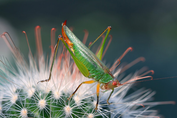 Bush Cricket on a Cactus Plant