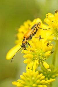 Goldenrod Soldier Beetle (Chauliognathus pensylvanicus)