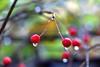 Rain Drops on Berries
