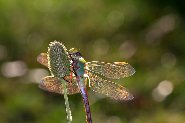 Common Green Darner Dragonfly at Sunset