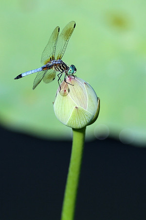 Blue Dasher Dragonfly on Lotus Bud