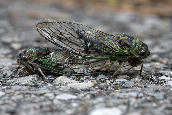 Mating Cicadas