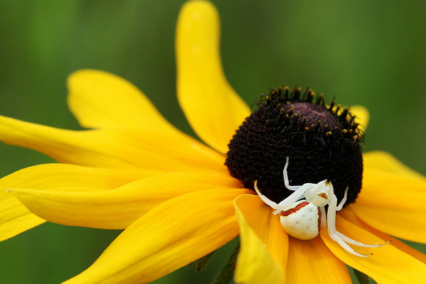 Crab Spider on Rudbeckia