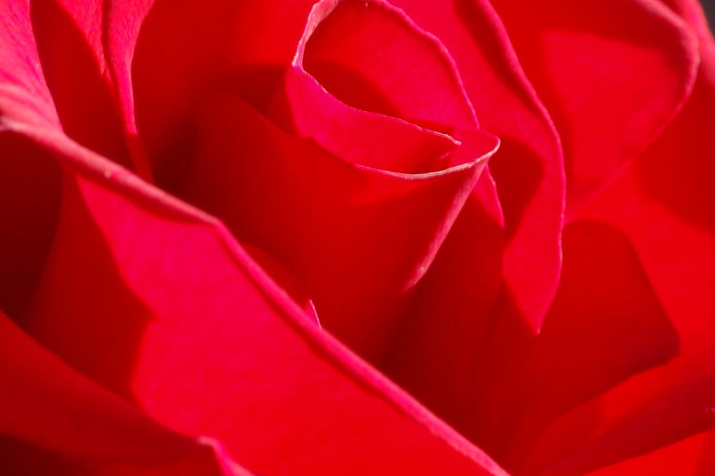 Red Rose- Closeup