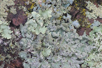 Powdery Axil-Bristle Lichen (Myelochroa aurulenta)