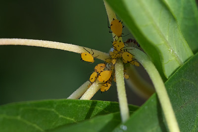 Aphis nerii