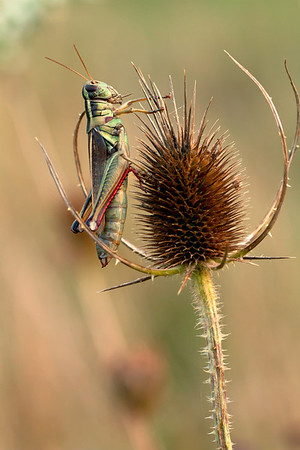 Grasshopper on Teasel