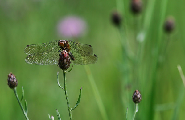Dragonfly on Knapweed