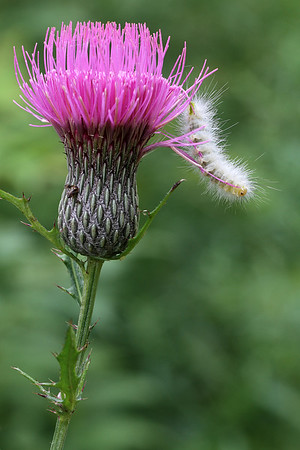 Hickory Tussock Moth caterpillar on Bull thistle