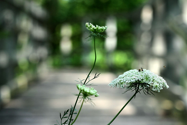 Queen Anne's Lace on the Boardwalk
