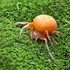 Orange Marbled Orb Weaver