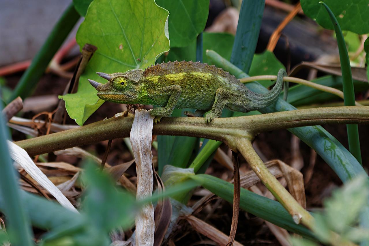 Jackson's Chameleon<br /> (Trioceros jacksonii)