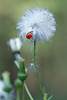 Ladybug on Sow Thistle Seeds