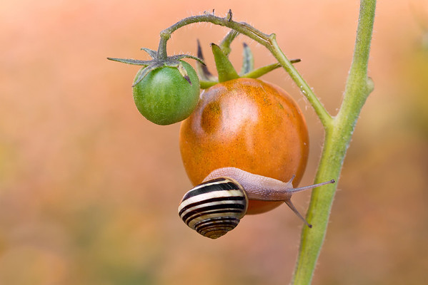 Garden Snail on Tomato