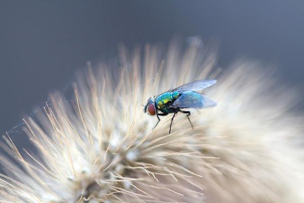 Bluebottle Fly on Seed Head