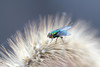 Bluebottle Fly on Seed Head