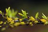 Yellow Cup Lichen