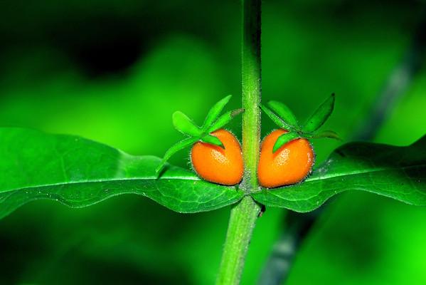 Orange-fruited Horse-gentian