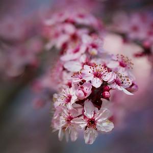 Springing Pink