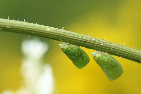 Leaf Mimic Planthopper