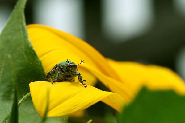 Japanese Beetle on Sunflower