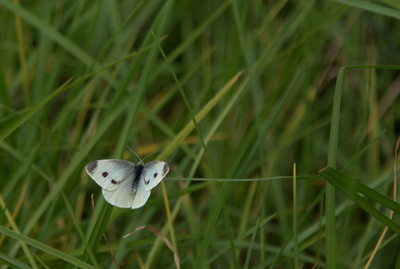 """Soft Landing"" (Cabbage butterfly -- Pieris rapae)"