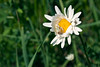 Crab Spider with a snack.  The male is on the right of the daisy
