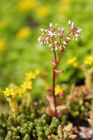 A Sedum Flower on a Green Living Roof