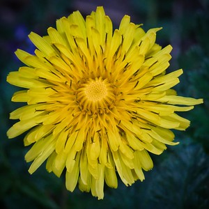 Common Dandelions (Taraxacum officinale)