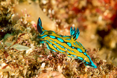 Tambja eliora nudibranch