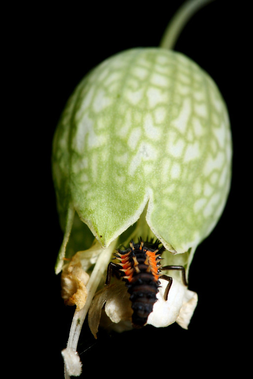 A larval Asian ladybug crawls inside a flower bud for shelter from the elements.