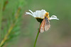 Crab Spider with a Meadow Brown Butterfly