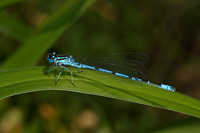 Damselfly II - they are active in our garden looking for mates