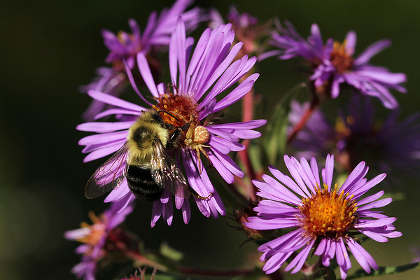 Crab Spider on the Wild Aster suddenly joined by a Bumblebee