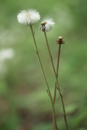 Sow Thistle Seed Heads