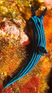Tambja mullineri Nudibranch