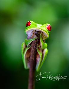 Red-eyed Tree Frog Portrait