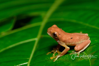 Red-eyed Tree Frog Juvenil