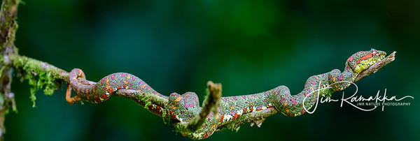 Green Eyelash Viper Pano