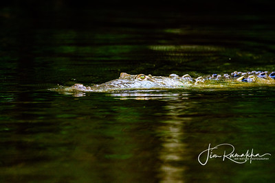 South American Crocodile