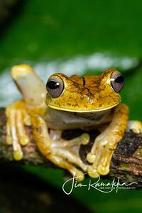 Goliath Tree Frog;