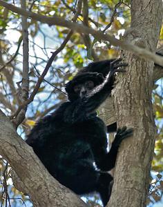 Black Lemurs (E.macaco)