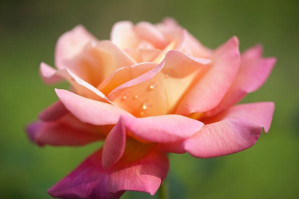 Pink Orange Rose with rain drops