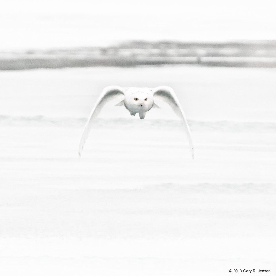Snowy Owl High Key-6323