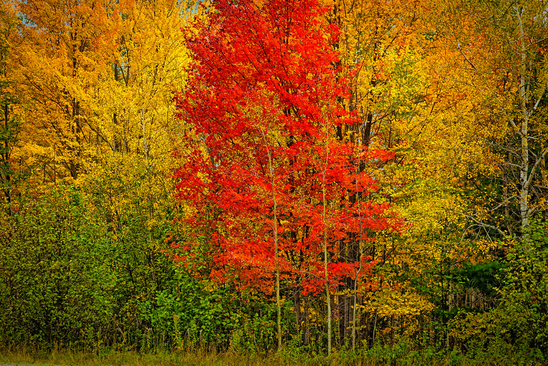 Red-Ahead-of-Yellow-MI-Upper_Peninsula-CF_Oct152016_0949
